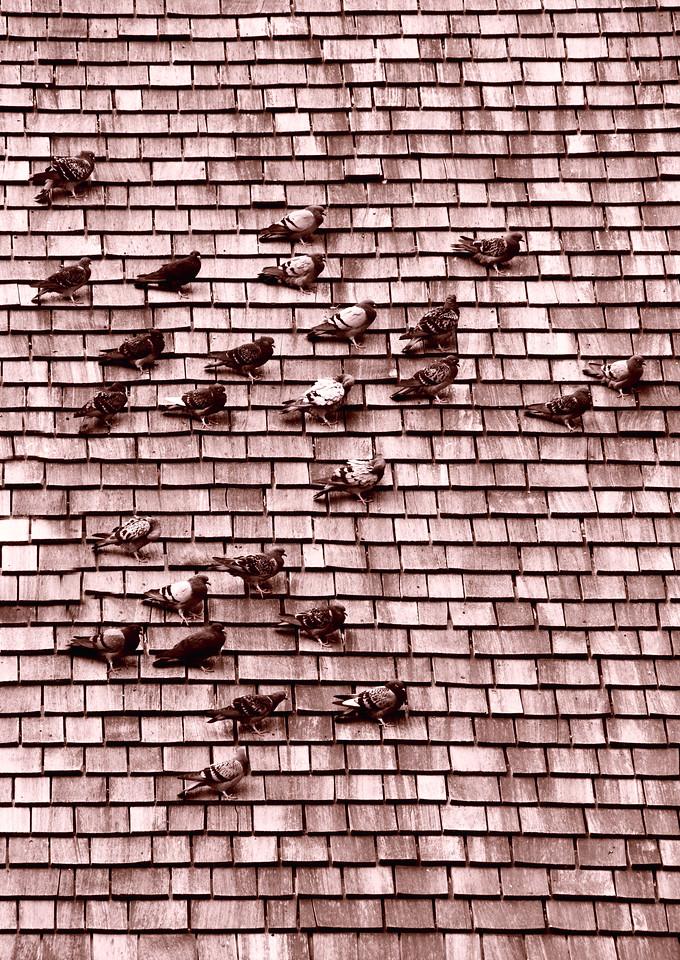 Pigeons get together